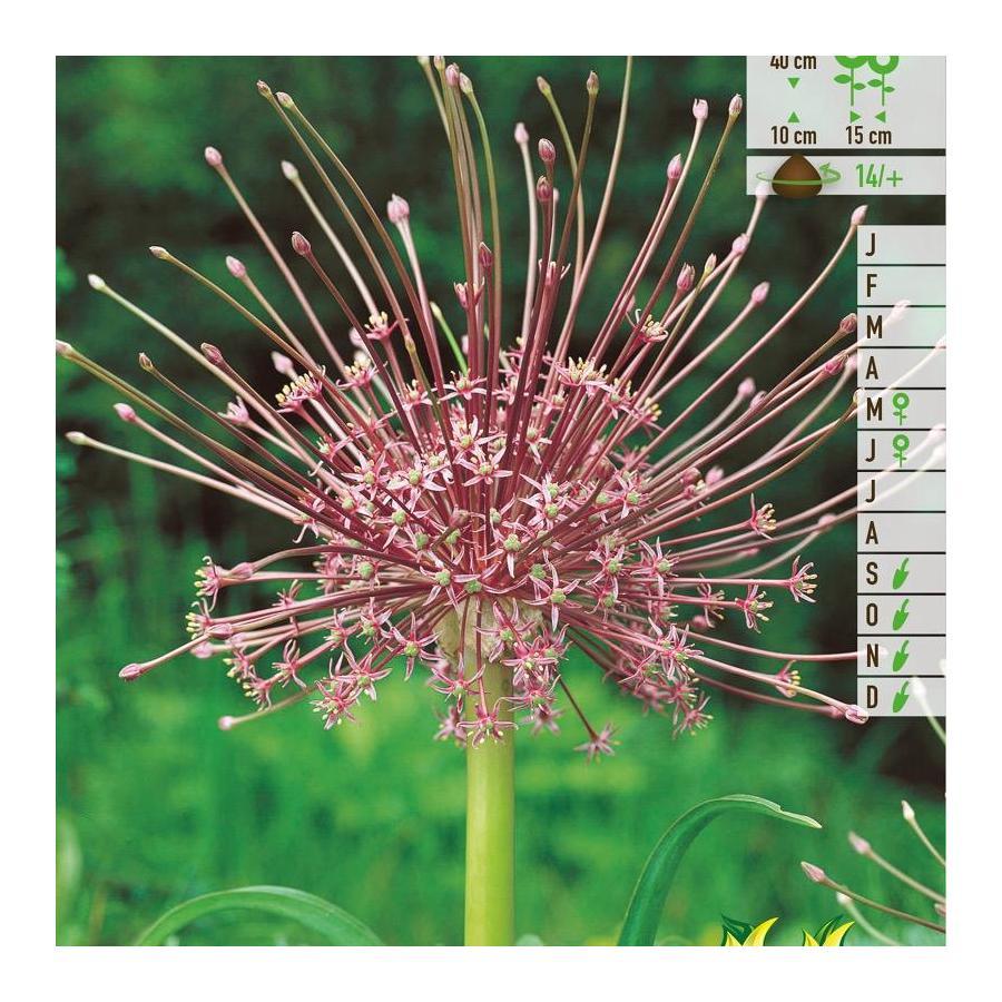 Ail d'ornement - Allium Shubertii