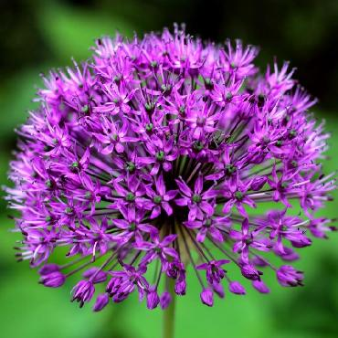 Ail d'ornement - Allium aflatunense Purple Sensation