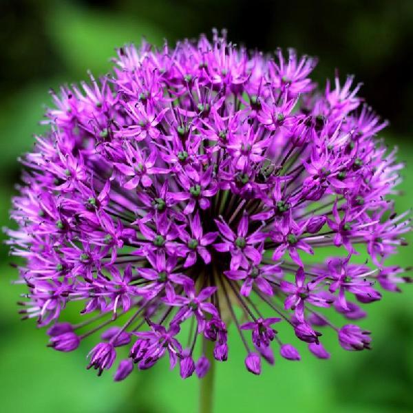 Ail d'ornement - Allium aflatunense Purple Sensation