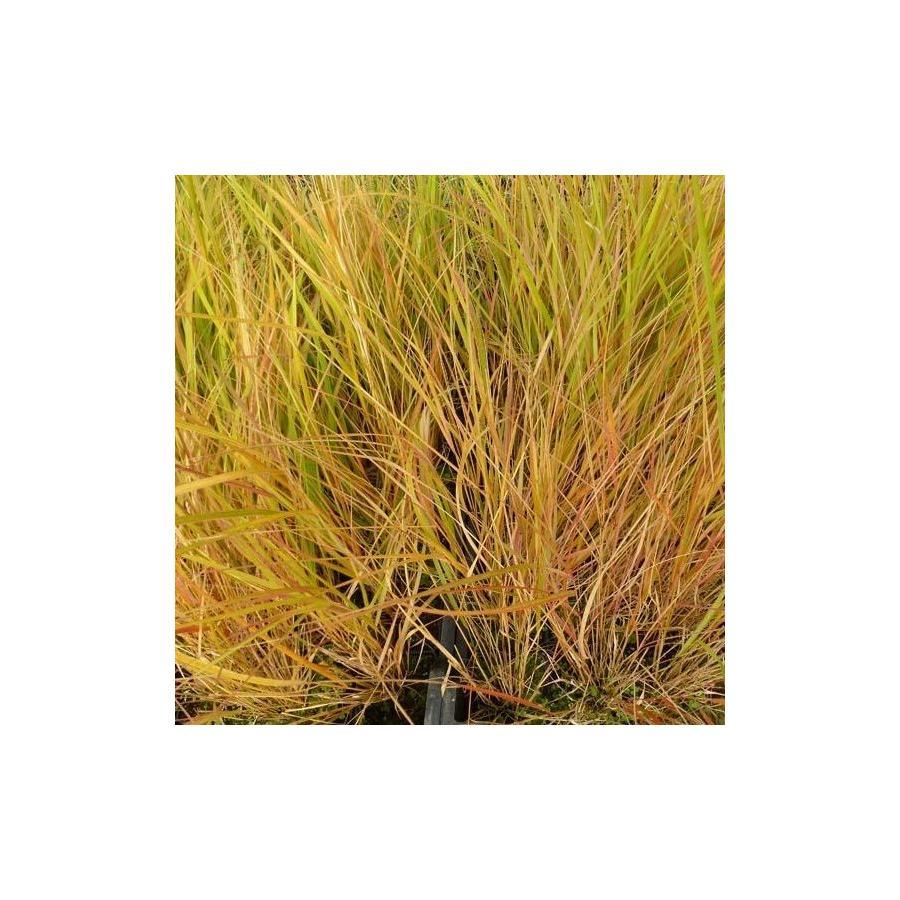 Calamagrostis arundinaceae