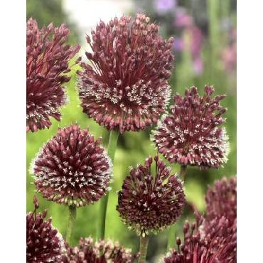 Ail d'ornement - Allium amethystinus Red Mohican
