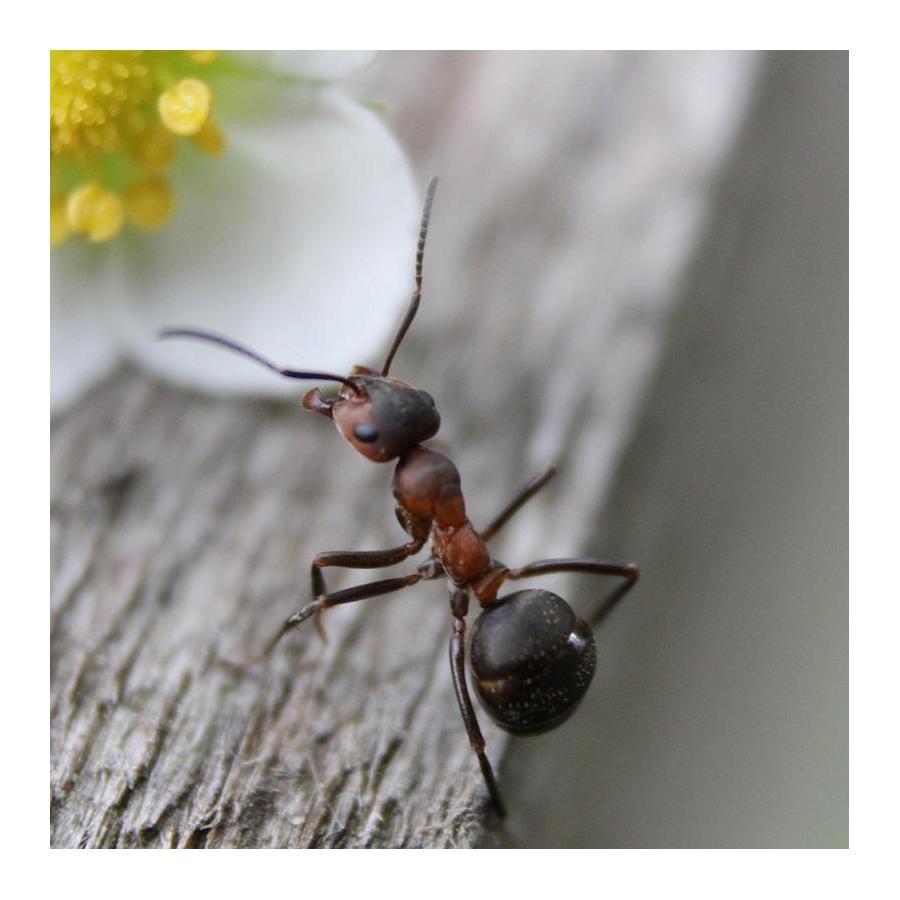 Nématodes contre les fourmis