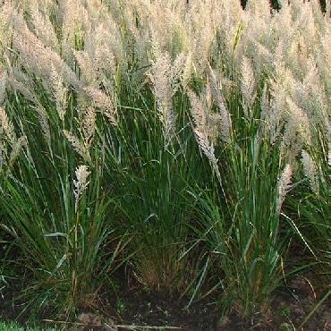 Calamagrostis brachytricha...