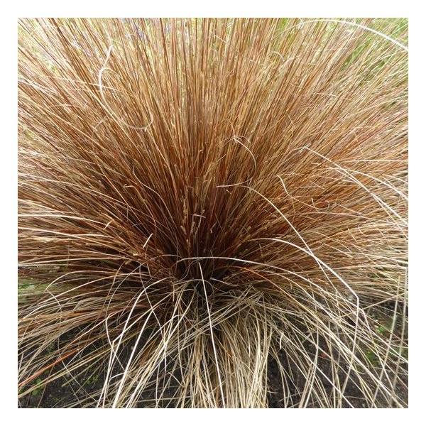 Carex buchananii