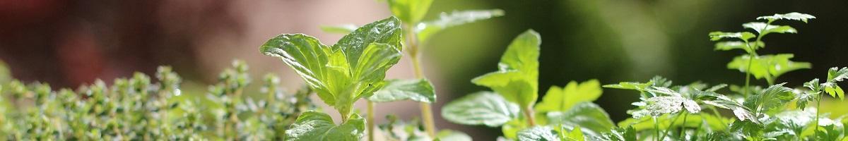Plantes condimentaires et aromatiques