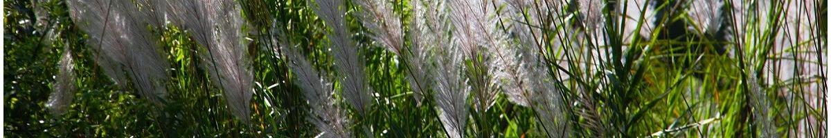 Les graminées ornementales : tendance et facile à cultiver