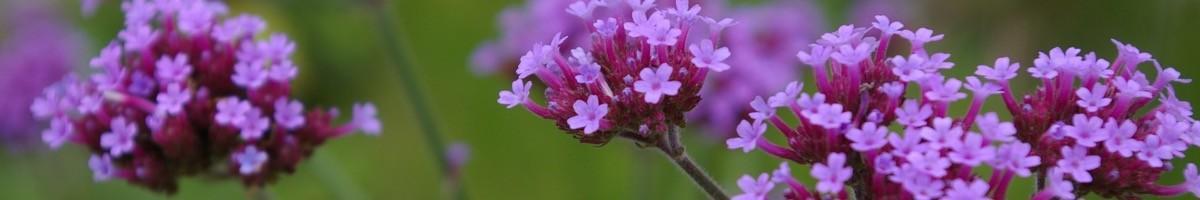 Osez combiner les fleurs avec les graminées ornementales, le résultat est top