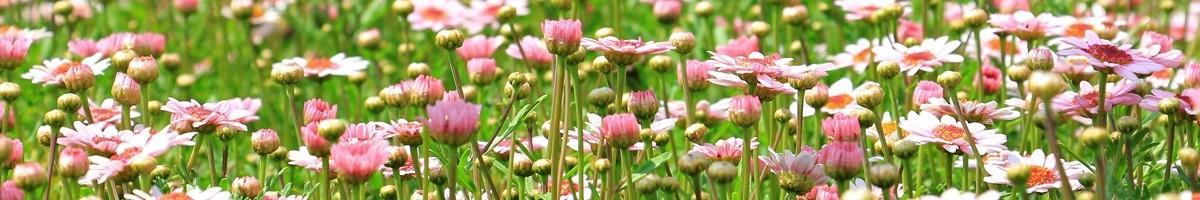Semences de fleurs BIO