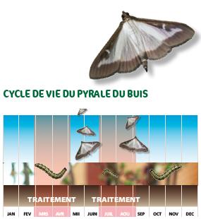Cycle de vie de la pyrale du buis
