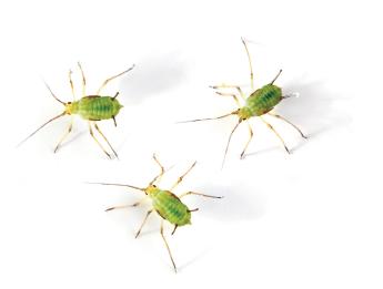 Pucerons et larves de coccinelles